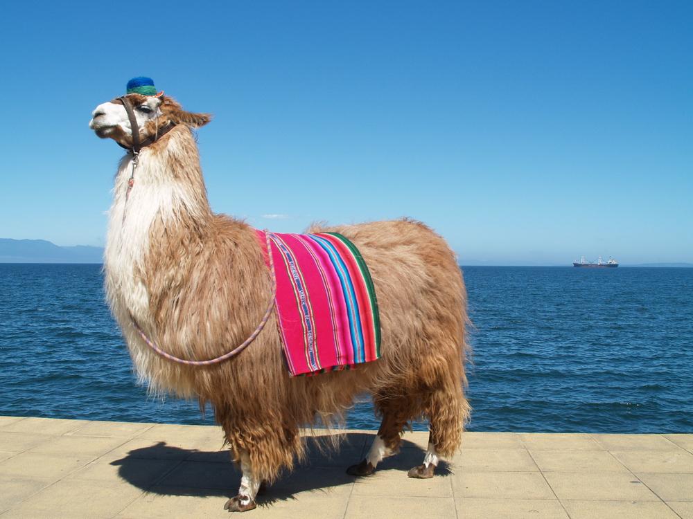 Llama by Felipe Riquelme